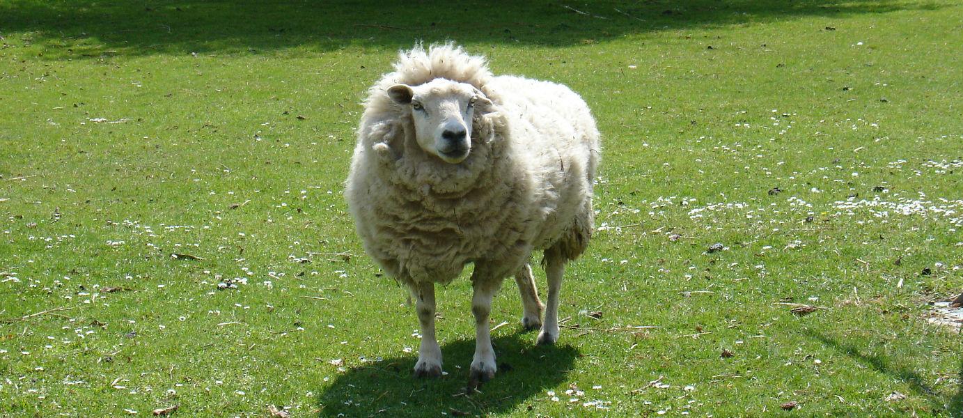 mouton de Neufmoutiers en brie